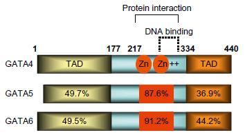 gata transcription factors